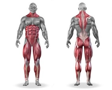 deadlift muscles worked diagram