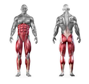 squats muscles worked diagram